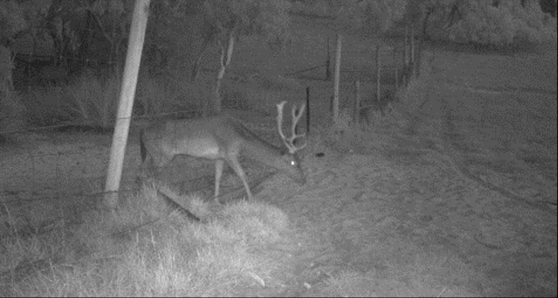 night-deer-1